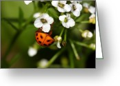 Photography Tk Designs Greeting Cards - Hang In There Ladybug Greeting Card by Tracie Kaska