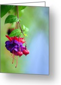 Flower Greeting Cards Greeting Cards - Hanging gardens Fuschia Greeting Card by Laura Mountainspring