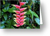 Kevin W .smith Greeting Cards - Hanging Heliconia Greeting Card by Kevin Smith