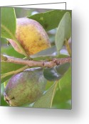 Guava Greeting Cards - Haole Guava Greeting Card by Mary Deal