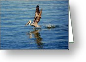 The Happy Pelican Greeting Cards - Happy Landing Pelican Greeting Card by Susanne Van Hulst