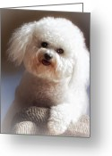 Bichon Greeting Cards - Happy Greeting Card by Lynn Andrews