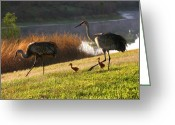 Baby Birds Greeting Cards - Happy Sandhill Crane Family Greeting Card by Carol Groenen