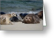 Wild-life Greeting Cards - Harbor Seals Greeting Card by Craig Incardone