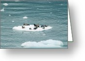 Marine Animals Greeting Cards - Harbor Seals Greeting Card by Michael Peychich