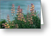 Lupines Greeting Cards - Harlequins in Harmony Greeting Card by Kathy Yates