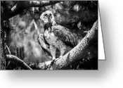 White Feather Greeting Cards - Harpia In Bw Greeting Card by Ralf Kaiser