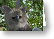 Raptor Photography Greeting Cards - Harpy Eagle Greeting Card by Larry Linton