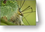 Harvestmen Greeting Cards - Harvestman Side View Greeting Card by Douglas Barnett