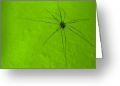 Harvestmen Greeting Cards - Harvestman Greeting Card by Sidsel Genee