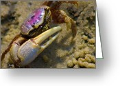 Fiddler Crab Greeting Cards - Have You Seen My Fiddle Greeting Card by East Coast Barrier Islands Betsy A Cutler