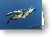 Pacific Greeting Cards - Hawaiian Green Sea Turtle Greeting Card by Photo by Barry Fackler