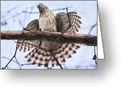 Tail Feathers Greeting Cards - Hawk Antics Greeting Card by Bonnie Barry