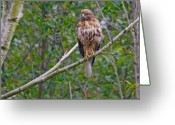 Braches Greeting Cards - Hawk Greeting Card by David  Naman