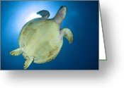 Hawksbill Turtle Greeting Cards - Hawksbill Sea Turtle Belly, Australia Greeting Card by Todd Winner