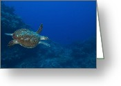 Hawksbill Turtle Greeting Cards - Hawksbill Sea Turtle, Kimbe Bay, Papua Greeting Card by Steve Jones