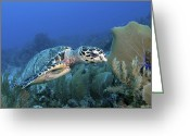 Hawksbill Turtle Greeting Cards - Hawksbill Sea Turtle On Caribbean Reef Greeting Card by Karen Doody