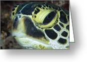 Hawksbill Turtle Greeting Cards - Hawksbill Sea Turtle Portrait Greeting Card by Todd Winner
