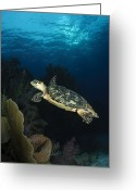 Hawksbill Turtle Greeting Cards - Hawksbill Sea Turtle Swimming Greeting Card by Todd Winner
