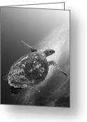 Hawksbill Turtle Greeting Cards - Hawksbill Turtle Ascending Greeting Card by Steve Jones