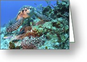 Hawksbill Turtle Greeting Cards - Hawksbill Turtle Feeding On Sponge Greeting Card by Karen Doody