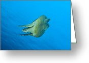 Hawksbill Turtle Greeting Cards - Hawksbill Turtle In The Diving Greeting Card by Steve Jones