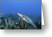 Hawksbill Turtle Greeting Cards - Hawksbill Turtle On Caribbean Reef Greeting Card by Karen Doody