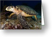 Hawksbill Turtle Greeting Cards - Hawksbill Turtle Resting Greeting Card by Mark Christian