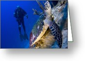Hawksbill Turtle Greeting Cards - Hawksbill Turtle Resting On A Reef Greeting Card by Steve Jones