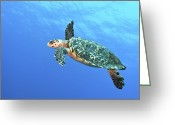 Hawksbill Turtle Greeting Cards - Hawksbill Turtle Swimming In Midwater Greeting Card by Karen Doody