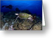 Sea Turtles Greeting Cards - Hawksbill Turtle Swimming With Diver Greeting Card by Steve Jones