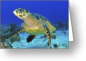 Hawksbill Turtle Greeting Cards - Hawskbill Turtle On Caribbean Reef Greeting Card by Karen Doody