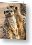 Standing Meerkat Photo Greeting Cards - He is looking at you Greeting Card by Andrew  Michael
