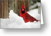 Cardinals. Wildlife. Nature. Photography Greeting Cards - Head On Cardinal Greeting Card by Jennifer Wosmansky