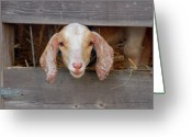 County Fair Greeting Cards - Head Shot Framed Greeting Card by Laura Mountainspring