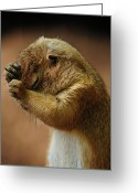 Prairie Dog Greeting Cards - Headache Greeting Card by Mike Martin