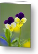 Viola Tricolor Greeting Cards - Heartsease (viola Tricolor) Greeting Card by Bob Gibbons