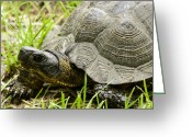 Wood Turtle Greeting Cards - Hello Again Greeting Card by Thomas Young