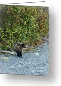 American Brown Bear Greeting Cards - Hello Bear Greeting Card by Dora Miller