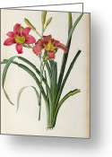 Illustration Greeting Cards - Hemerocallis fulva Greeting Card by Pierre Joseph Redoute