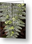 Hen Greeting Cards - Hen And Chickens Fern (asplenium Sp.) Greeting Card by Bob Gibbons