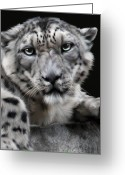 Animals Greeting Cards - Hercules Greeting Card by Big Cat Rescue