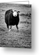 Black Fur Greeting Cards - Herdwick Sheep Greeting Card by Meirion Matthias