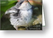 Baby Birds Greeting Cards - Here Comes Mommy Greeting Card by Randy Bodkins