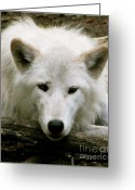 Natural Wolf  Greeting Cards - Here S Looking At You Greeting Card by Debra     Vatalaro