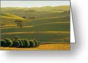 Australian Animal Greeting Cards - Herefords Grazing On Rolling Hills Near Korumburra In The Strzelecki Ranges, South Gippsland, Victoria, Australia Greeting Card by Peter Walton Photography