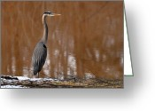 Crane Greeting Cards - Heron Hunting in Winter - c1607h Greeting Card by Paul Lyndon Phillips