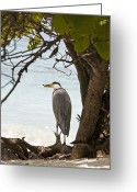 Shade Greeting Cards - Heron Greeting Card by Jane Rix
