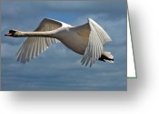 Canada Swan Greeting Cards - High Flying Greeting Card by Lois Bryan