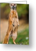 Standing Meerkat Photo Greeting Cards - High Mongoose Greeting Card by Picture by Tambako the Jaguar